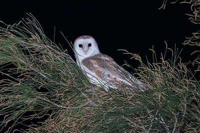 Eastern-Barn-Owl-release-for-WIRES_AGL4442