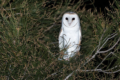 Eastern-Barn-Owl-release-for-WIRES_AGL4450