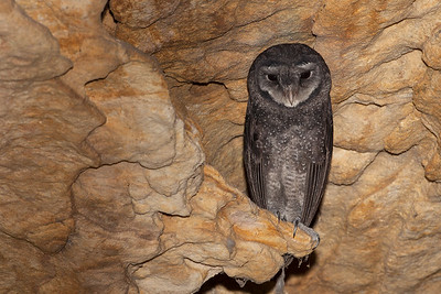 Greater Sooty Owl
