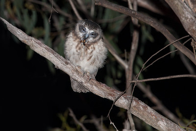Southern Boobook (fledgling)