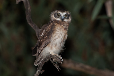 Southern Boobook (owlet)