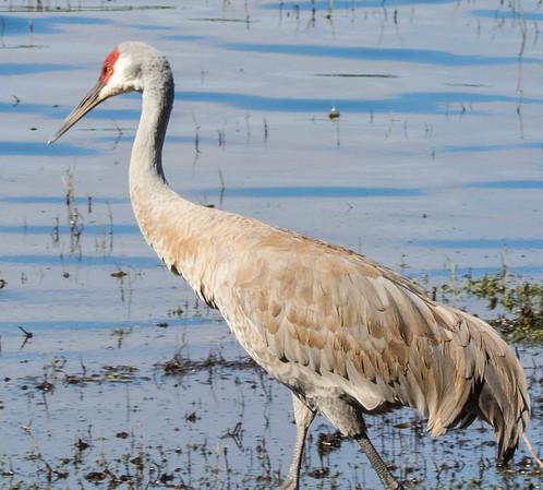 sandhill cranes   sm     a3