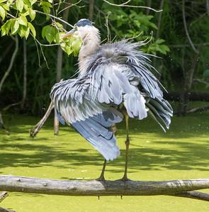 great blue heron   sm     223