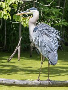 great blue heron   sm     224