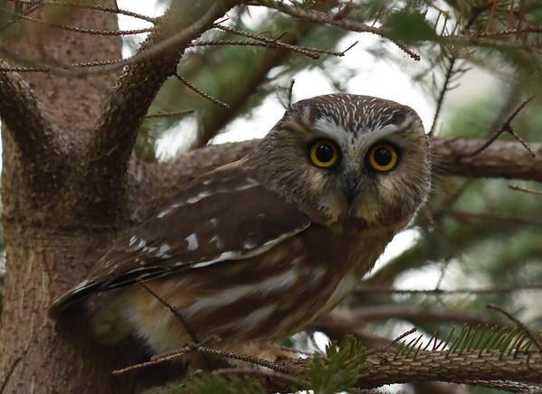 Birds of Prey; hawks, ospreys, northern harrier, owls, turkey vultures, and Kestrels, Cooper's hawk