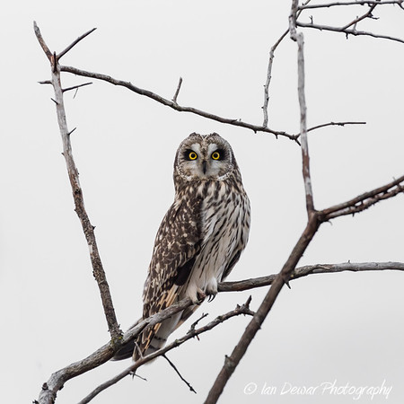 Short Eared Owl in Natural Frame