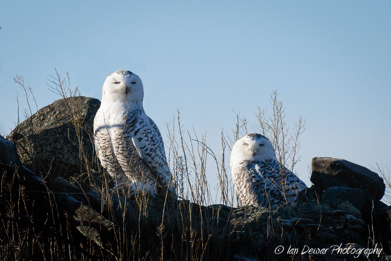 A pair of snowy owls