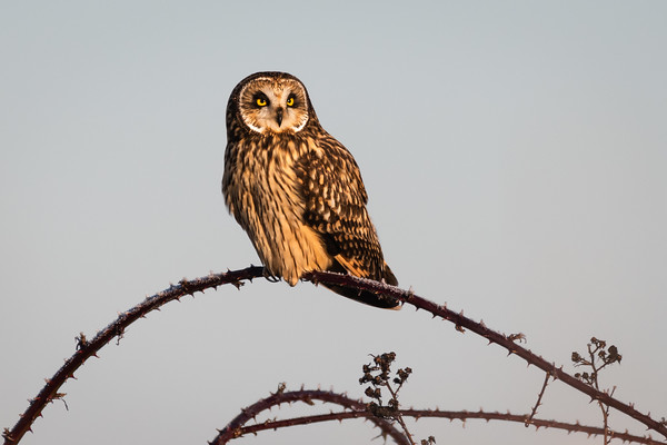 A Short eared Owl in early morning light