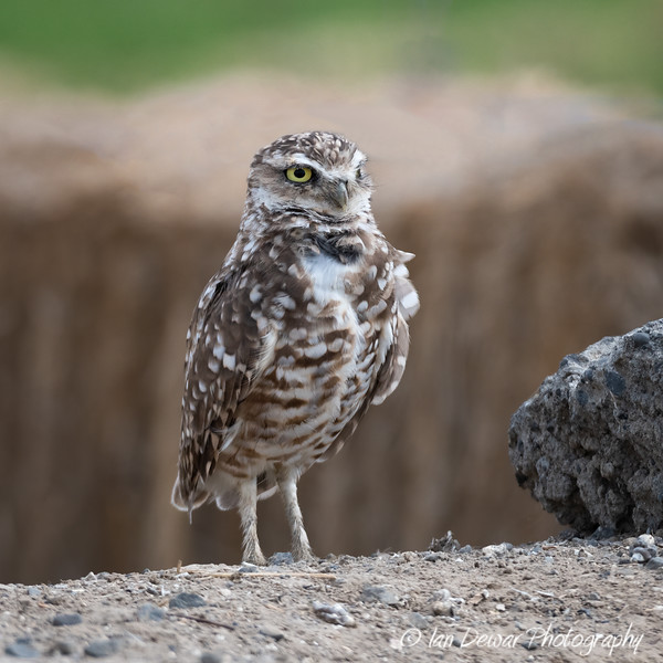 Burrowing Owl standing