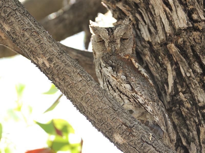 African Scops Owl (Otus senegalensis) Etosha NP, Namibia