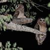 Xaro Lodge, OkavaAfrican Wood Owl (Strix woodfordii) Okavango Delta, Xaro Lodge, North-West, Botswanango River, Botswana
