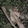 African Wood Owl (Strix woodfordii) Okavango Delta, Xaro Lodge, North-West, Botswana