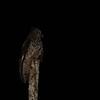 Akun Eagle Owl (Bubo leucostictus) Nsutu Forest, Ghana