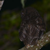 Anjouan Scops-Owl (Otus capnodes) Mountainside above Mutsamudu, Anjouan, Comoro Islands