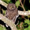 Anjouan Scops-Owl (Otus capnodes) Mountainside above Mutsamudu, Anjouan, Comoro Islands