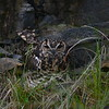 Cape Eagle-Owl (Bubo capensis) Grahamstown quarry, South Africa