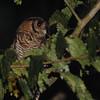 Fraser's Eagle-Owl (Bubo poensis) Ankasa NP, Ghana