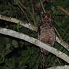 Fraser's Eagle-Owl (Bubo poensis) New Breku Forest, Ghana