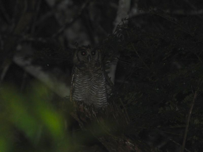 Fraser's Eagle-Owl (Bubo poensis) Kakum NP, Ghana