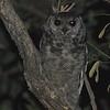 Grayish Eagle-Owl,  (Bubo cinerescens)  Murchison Falls NP,  Uganda