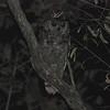 Grayish Eagle-Owl (Bubo cinerascens) Murchison Falls, Uganda