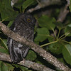 Karthala Scops Owl (Otus pauliani) Mount Karthala, Grand Comore, Comoro Islands