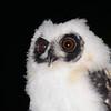 Madagascar Long-eared Owl (Asio madagascariensis) chick, Perinet (Analamazaotra Special Reserve), Madagascar