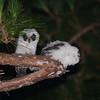 Madagascar Long-eared Owl (Asio madagascariensis) chicks, Perinet (Analamazaotra Special Reserve), Madagascar