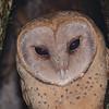 Madagascar Red Owl (Tyto soumagnei) Bemanevika, Sambava,  Sava, Madagascar