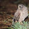Marsh Owl (Asio capensis) near Johannesburg, South Africa