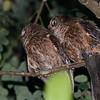Mayotte Scops-Owl (Otus mayottensis) Majimbini Forest Reserve, Mayotte, France