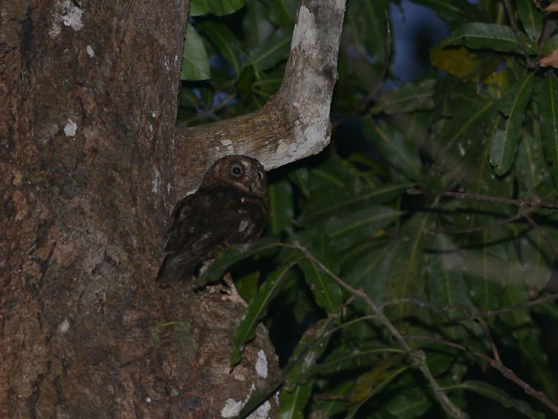 Mayotte Scops-Owl (Otus mayottensis) Gite du Mont Camboni garden, Mayotte, France