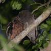 Moheli Scops-Owl (Otus moheliensis) Mountainside above Famboni, Moheli, Comoro Islands.