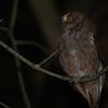 Pemba Scops-Owl (Otus pembaensis) Fundu Lagoon, Pemba Island