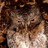 Rain Forest Scops-Owl (Otus rutilus) BAndisabe, Madagascar