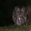 Rain Forest Scops-Owl (Otus rutilus) Bemanevika Forest, Madagascar