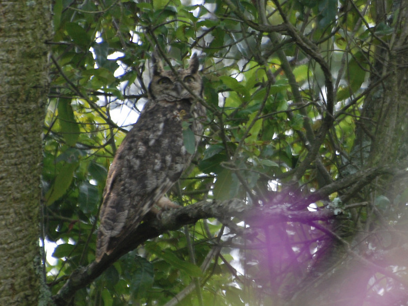Spotted Eagle-Owl, (Bubo africanus) Impenetrable Forest, Uganda