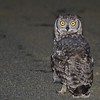 Spotted Eagle-Owl, (Bubo africanus) Rural Gauteng, near Devon, South Africa