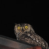 Spotted Eagle-Owl, (Bubo africanus) in the rain near Johannesburg, South Africa