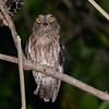 Torotoroka Scops-Owl (Otus madagascariensis) Ankarafantsika NP, Madagascar