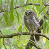 White-browed Owl (Ninox superciliaris) Berenty Reserve, Madagascar