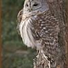 Bared Owl, Upstate NY