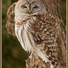 """""""Bared Owl, Upstate NY"""