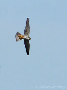 Hobby (Falco subbuteo), Wilstone Reservoir, Hertfordshire, 27/05/2013. One of 4 birds hunting over a sunny but blustery Wilstone today. Far too far away for good quality photographs but my best effort to date.