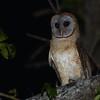 Ashy-faced Owl (Tyto glaucops) Pedernales, Dominican Republic