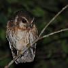 Cuban Screech Owl (Gymnoglaux lawrencii) Cienega de Zapata, Cuba