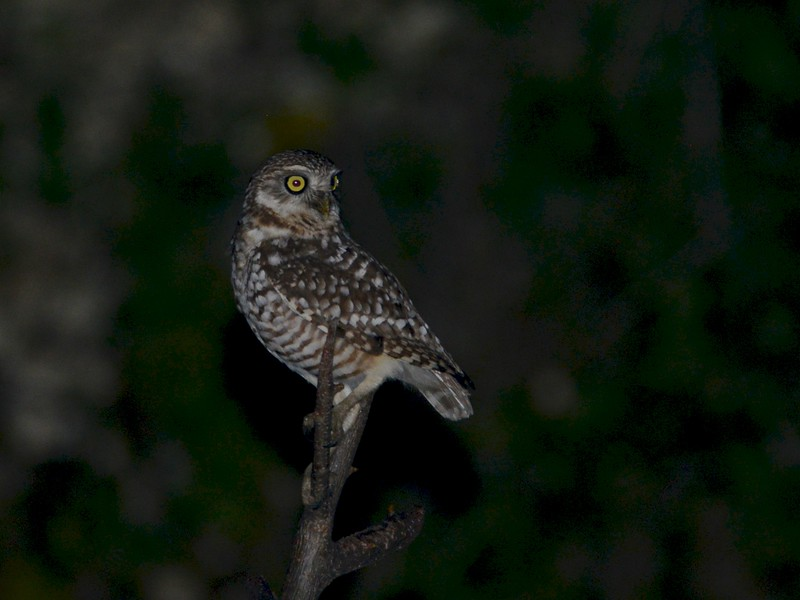 Burrowing Owl (Athene cunicularia) Pedernales, Dominican Republic
