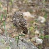 Burrowing Owl (Athene cunicularia) Puerto Escondido, Dominican Republic