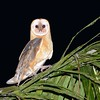 Barn Owl (Tyto alba) Palm plantation northeast of Santo Domingo, Dominican Republic.