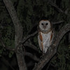 Barn Owl (Tyto alba) Green Castle Estate, Saint Mary Parish Jamaica